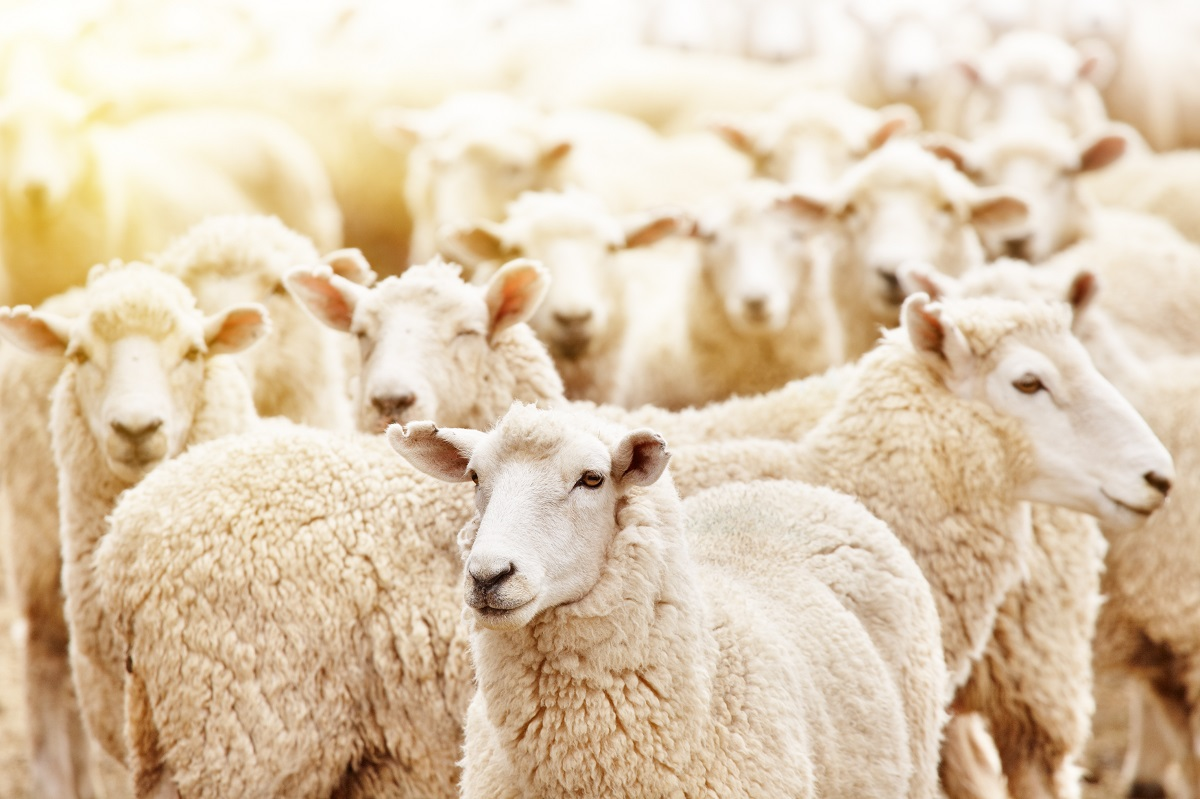 Flock of white sheep